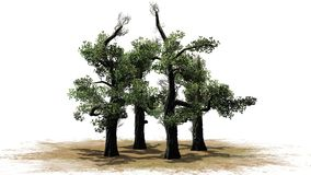 Honey Trees en erea de la arena con la sombra en el piso Imagen de archivo