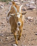 Honey and white colored goat in mid stride. A honey and white colored Nigerain dwarf goat with horns and blue eyes caught in mid stride royalty free stock photography