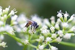Honey Worker Bee Royalty Free Stock Photos