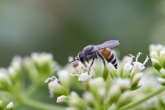 Honey Worker Bee Stock Photos