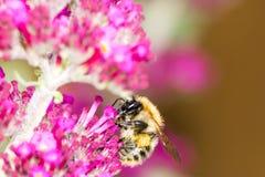 Honeybe en la flor púrpura del buddleia Foto de archivo libre de regalías