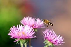 honeybee летания стоковое изображение rf