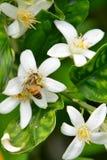 Honeybee на померанцовых цветениях стоковое изображение rf
