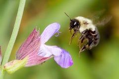 honeybee цветка колебаясь сверх Стоковое фото RF