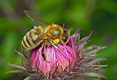 Honeybee Stock Image
