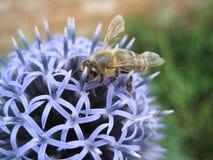 honeybee Стоковые Фото