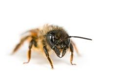 honeybee Obrazy Royalty Free