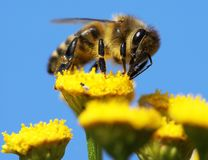 Honeybee. Pollinated of yellow flower royalty free stock photos