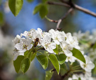 Honeybee. On a tree. Flovers in bloom Royalty Free Stock Photos