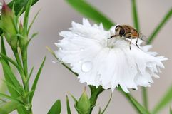 Honeybee Royalty Free Stock Images