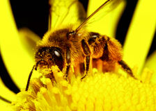 Honeybee Royalty Free Stock Photography