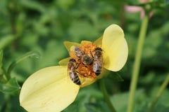 Honeybee Royalty Free Stock Photography