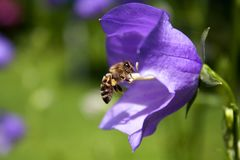 Honeybee Stock Images