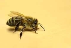 Honeybee,. Isolated on a yellow background, close-up stock image