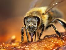 Honeybee. Feeding on overriped fruit stock photography