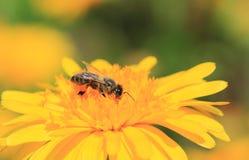 Honeybee Royalty Free Stock Images