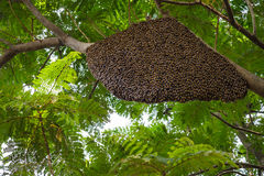 Honeybee. Image of Honeybee swarm hanging stock photography