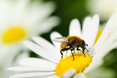 Honeybee Stock Image