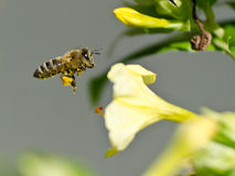 Honeybee royaltyfria bilder