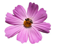 Honeybee. On pink flower isolated royalty free stock photography