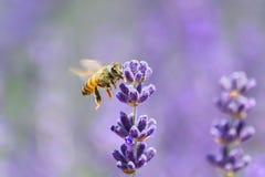 honeybee imagens de stock