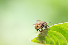 honeybee Fotografia de Stock Royalty Free