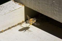 honeybee Stockfotografie