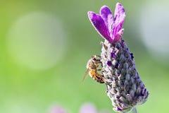 honeybee Stock Afbeelding