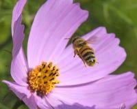 honeybee Immagine Stock