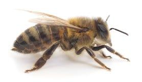 honeybee Arkivfoto