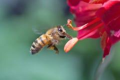 honeybee Royaltyfria Foton