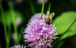honeybee Foto de Stock