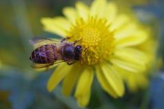 honeybee Zdjęcie Stock