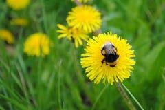 honeybee Fotografia de Stock Royalty Free