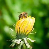 honeybee стоковые изображения rf
