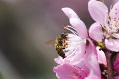 honeybee Стоковая Фотография