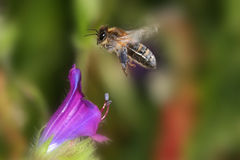 Honeybee. A honeybee flying over a flower Stock Photography