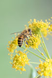 honeybee Stockfoto