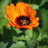 honeybee stockbild