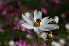 honeybee Lizenzfreie Stockfotografie