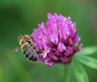 honeybee Imagem de Stock Royalty Free