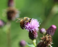 honeybee Foto de Stock Royalty Free