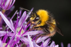 Honeybee. Looking for honey at an allium stock photography