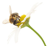 Honeybee And White Flowers Royalty Free Stock Image