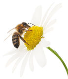 Honeybee And White Flowers Stock Images