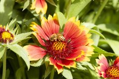 A Honeybee Apis Gathers Pollen on Cultivated Arizona Sun Flower. A Honeybee Apis Gathers Pollen on Cultivated Arizona Sun Gaillardia Flowers royalty free stock photography