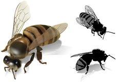 Honeybee. (Apis melifea) Colored Illustration, Vector Royalty Free Stock Photos