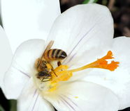 Honeybee (Apis mellifera) Stock Image