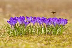 Honeybee Apis mellifera, bee flying over the crocuses in the spring Royalty Free Stock Images