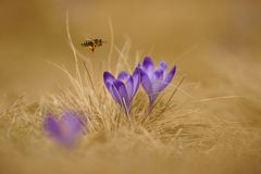 Honeybee Apis mellifera, bee flying over the crocuses in the spring Royalty Free Stock Photo